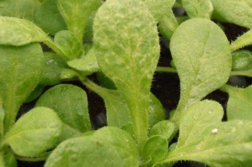 Симптомы заражения садовой петунии вирусом табачной мозаики