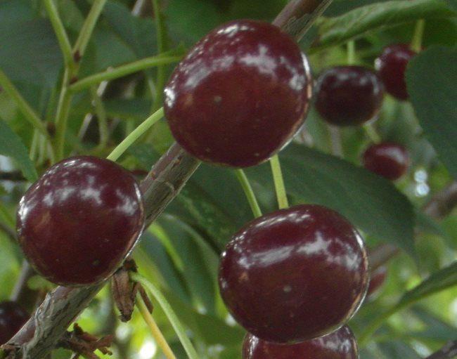 Темно-бардовые плоды вишни сорта Уйфехертои Фюртош крупным планом