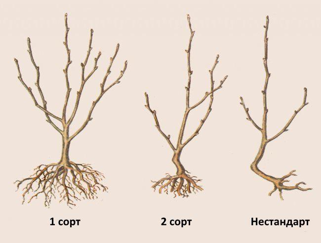 Разновидности по сортам саженцев вишни с открытой корневой системой