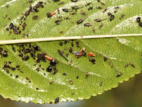 Мелкая черная тля на нижней стороне вишневого листа
