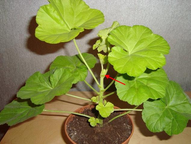 Точка роста на центральном стебле домашней герани перед прищипыванием