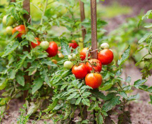 Созревание красных плодов томатов на деревянной опоре