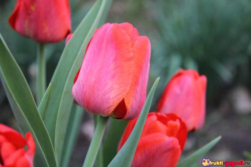 Несколько цветков тюльпана вблизи раскрываются