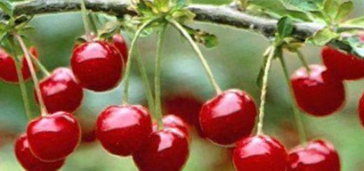 Спелые плоды Уйфехертои Фюртош вишни на ветке созревают