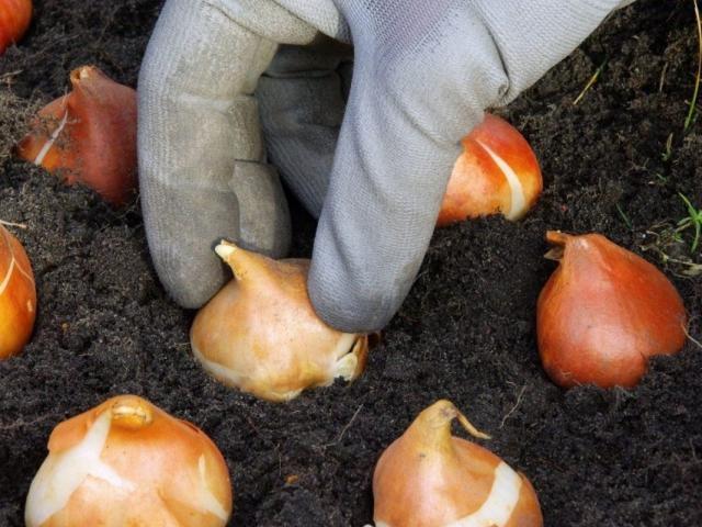 Укладка луковиц тюльпанов на хранение в мешок с торфом