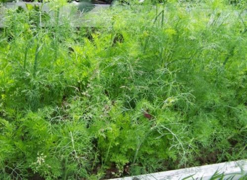 Высокая грядка с зеленым укропом сорта Грибовский в середине лета