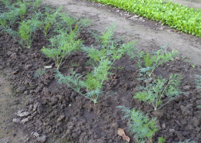 Невысокие кустики пушистого укропа на грядке с плодородной почвой
