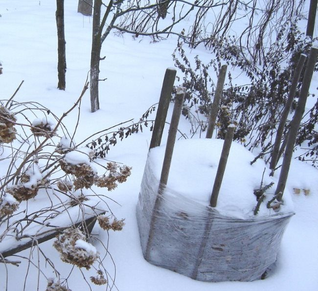 Зимнее укрытие молодого саженца вишни в Центральном регионе России