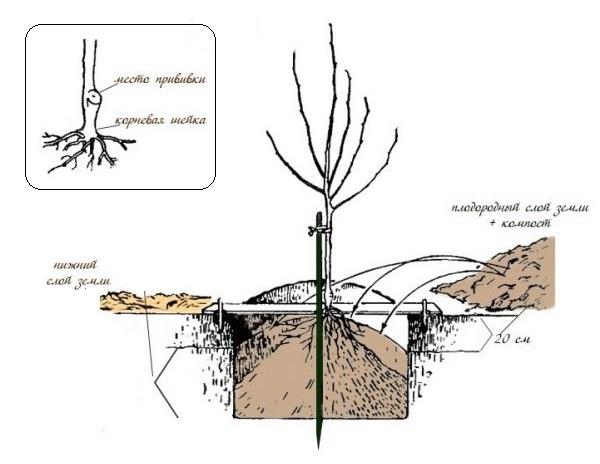 Схема посадочной ямы для саженца вишни на плодородном грунте