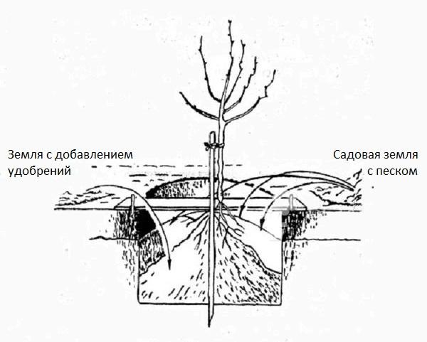 Схема заполнения ямы в процессе весенней посадки саженца вишни