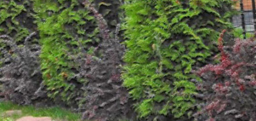 Туи посаженные вдоль забора рядом друг к другу живая изгородь