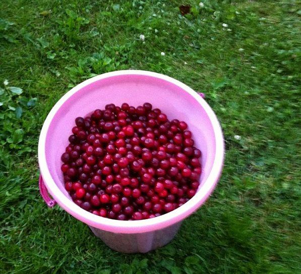 Розовое пластиковое ведро с ягодами вишни среднего размера