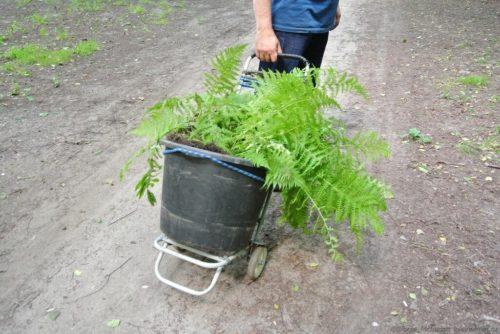 Перевозка лесного папоротника на место посадки в своем саду