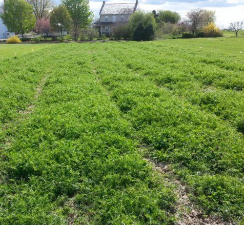 Выращивание вики перед посевом картошки на поле фермерского хозяйства