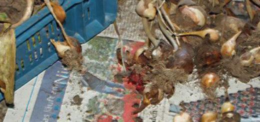 Выкопанные луковицы тюльпанов с землёй