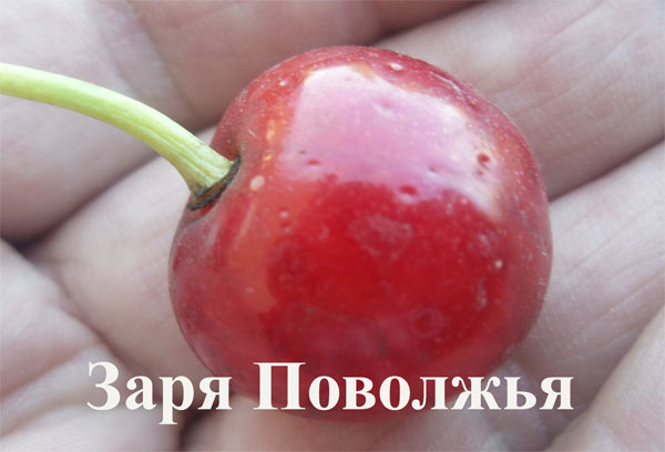 Крупная ягода гибридной вишни отечественного сорта Заря Поволжья