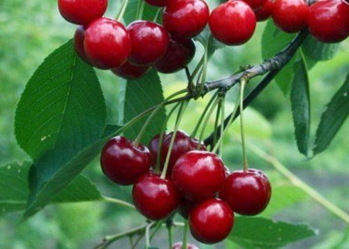 Спелые плоды насыщенно красного цвета на ветках вишни сорта Краса Татарии