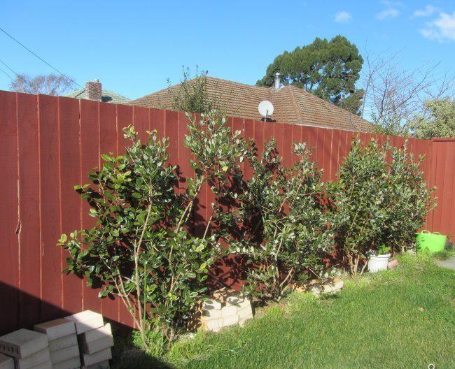 Кустики вишни вдоль металлического забора красно-коричневого цвета