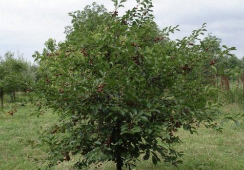 Взрослый куст вишни сорта Свердловчанка от сибирских селекционеров
