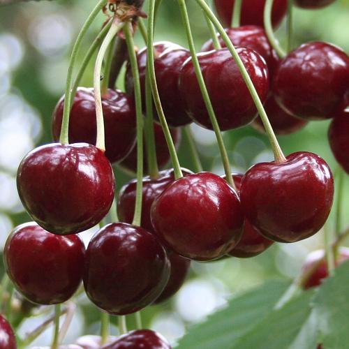 Фото спелых плодов вишни сорта Уйфехертои Фюртош от венгерских селекционеров