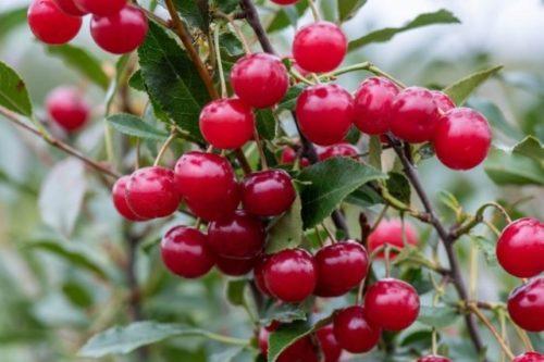 Светло-красные ягоды вишни сорта Стандарт Урала на ветке шестилетнего куста