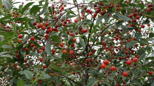 Куст вишни сорта Субботинская в период созревания плодов