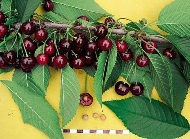 Размеры и внешний вид плодов и мякоти вишни сорта Свердловчанка