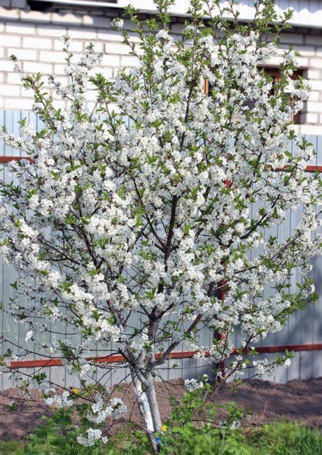 Обильно цветущий куст вишни после внесения азотной подкормки