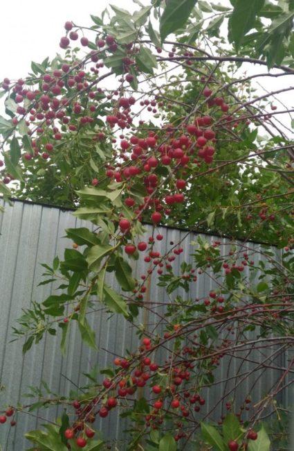 Ветка вишни сорта Заря Татарии на дереве около забора из профлиста