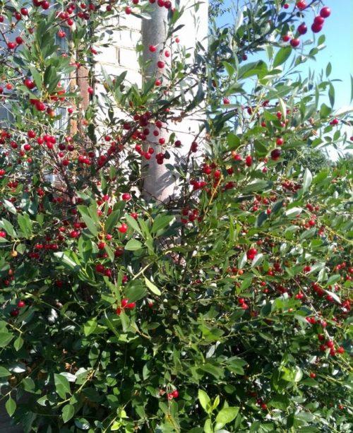 Созревание ягод на вишне венгерского сорта Уйфехертои Фюртош