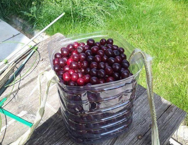 Обрезанная пластиковая емкость со спелыми вишнями сорта Краса Татарии