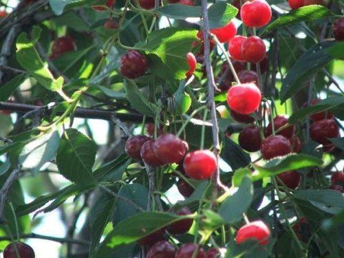Светло-красные ягоды вишни на ветках сорта Заря Поволжья