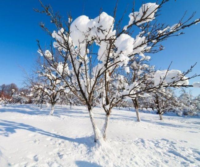 Снег на ветках кустика вишни в плодовом саду Западной Сибири
