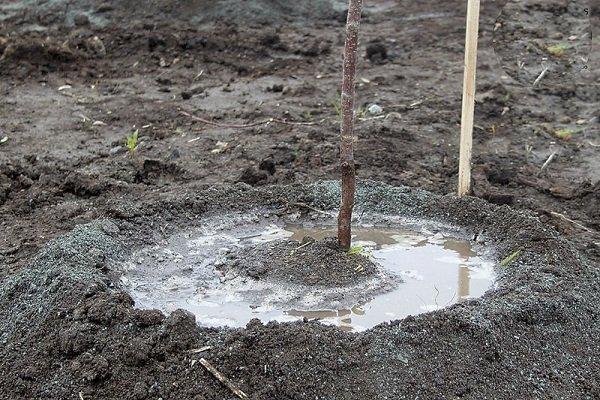 Полив саженца вишни дождевой водой в процессе весенней посадки
