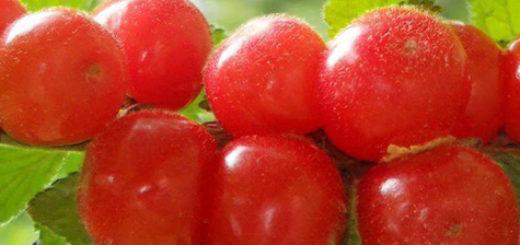 Войлочная вишня плодоношение активное красные плоды