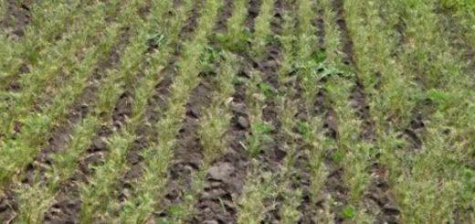 Всходы горчицы посаженной по весне в качестве сидерата для большого поля
