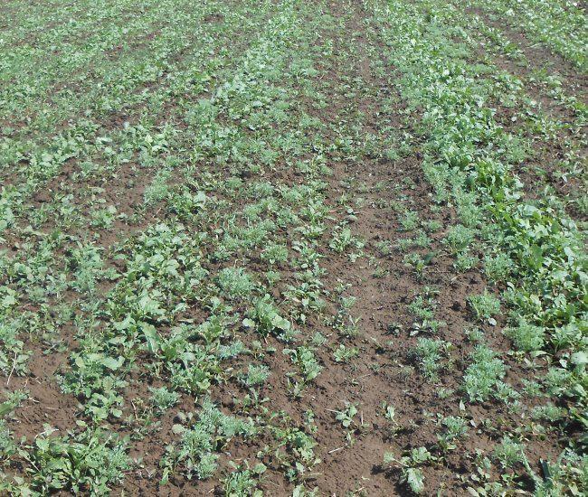 Всходы белой горчицы на картофельном поле при недостаточно плотном посеве семян