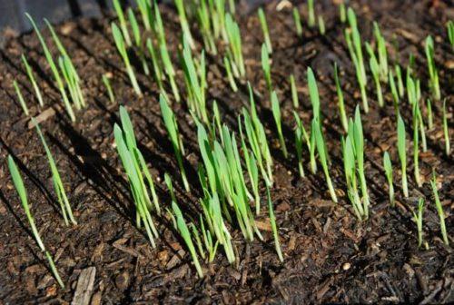 Молодые всходы овса после весеннего посева на дачном участке