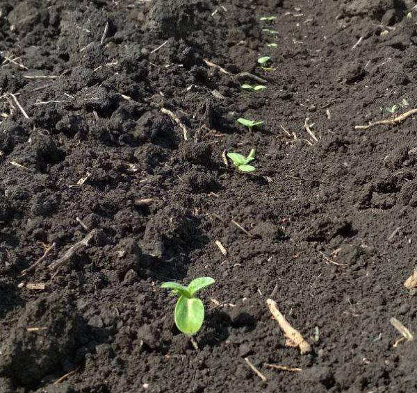 Всходы подсолнухов после посадки в прогретую землю садового участка