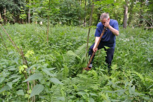 Выкопка папоротника в лесу для посадки в частном саду