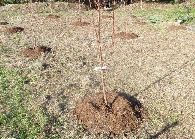 Садовый участок с высаженными весной вишнями и черешнями