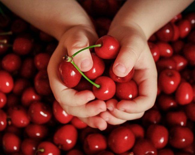 Горсть ягод вишни сорта Субботинская от сибирских селекционеров