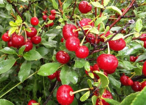 Обильное плодоношение вишни Субботинская в возрасте восьми леи