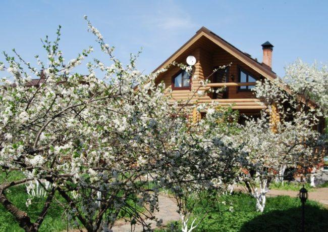 Цветущие вишневые деревца и бревенчатый дом на заднем плане