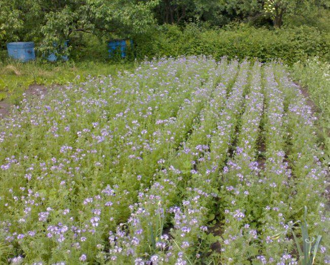 Посадки фацелии в начале цветения на картофельном участке