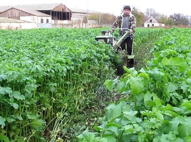 Скашивание горчицы в конце весны перед посадкой картофеля