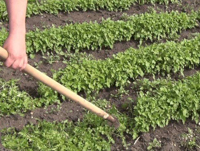 Заделка белой горчицы в почву с помощью мотыги с деревянной рукояткой