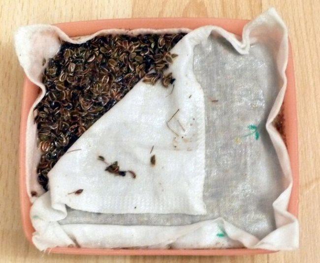 Замачивание семян укропа во влажной ткани перед посадкой