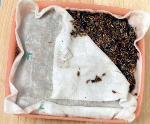 Замачивание семян укропа огородного во влажной ткани в домашних условиях