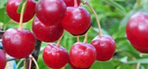 Созревающие плоды вишни сорта Звезда Поволжья вблизи на ветке